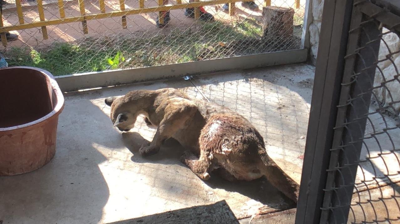 Según las autoridades, el puma se encuentra sano y salvo en el zoológico del Parque Tangamanga (Foto: Twitter @SSP_SLP)
