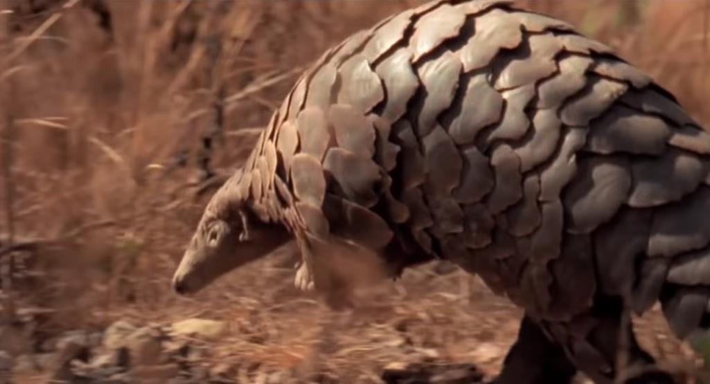 Pangolín es un mamífero de cuerpo alargado, con la cabeza, el dorso y la cola protegidos por escamas córneas duras y puntiagudas