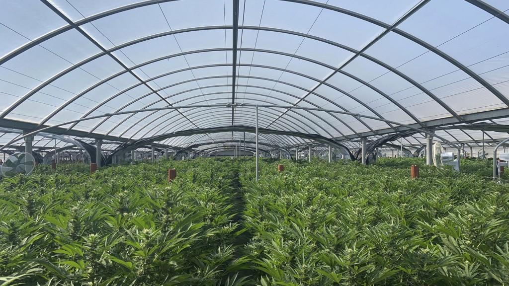 La granja de marihuana era usada anteriormente como un vivero de diferentes tipos de plantas (Foto: Departamento de Policía de Riverside, vía AP)