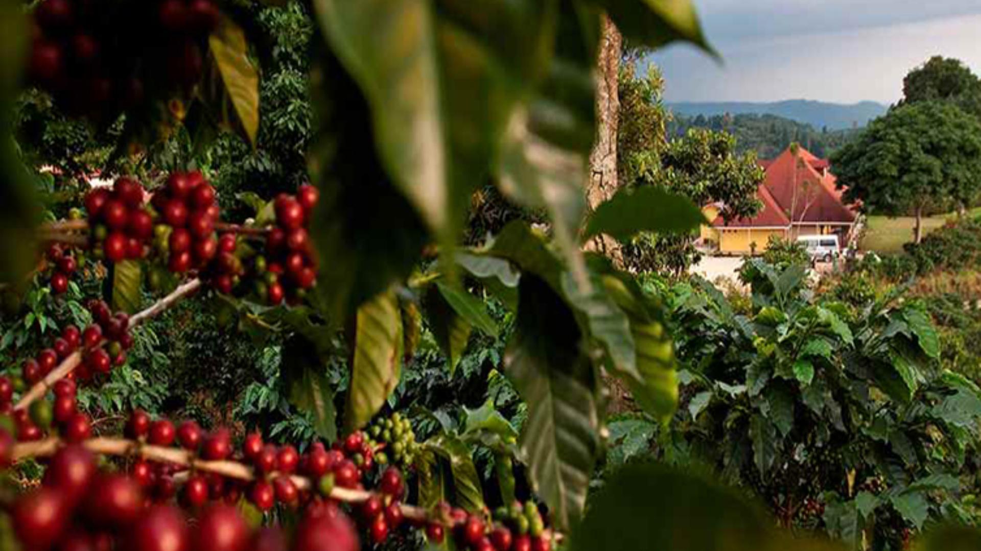 cafetales de Chiapas, lugar donde se origina uno de los mejores cafés