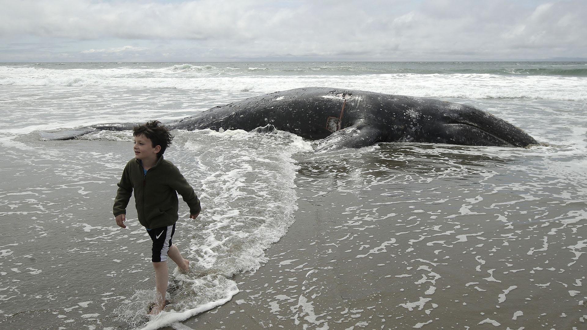 Un niño, Saul Parker, camina en las olas después de ver una ballena muerta en Ocean Beach en San Francisco, el lunes 6 de mayo de 2019. (AP Photo/Jeff Chiu)
