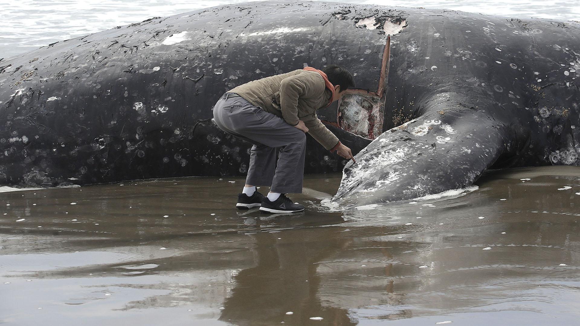 Un hombre, Duat Mai, observa la ballena muerta en Ocean Beach en San Francisco, el lunes 6 de mayo de 2019. (AP Photo/Jeff Chiu)