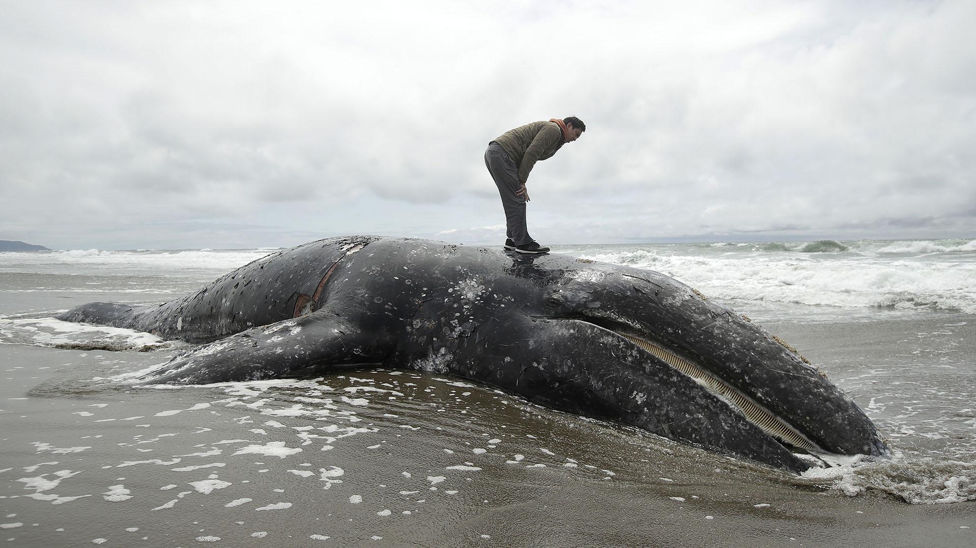Duat Mai se para sobre una ballena muerta en Ocean Beach en San Francisco, el lunes 6 de mayo de 2019. (AP Photo/Jeff Chiu)
