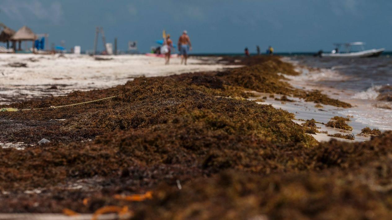 Las algas no son peligrosas para los bañistas, pues no producen infecciones cutáneas, pero en su interior dan cobijo a animales como cangrejos o erizos que sí podrían lastimar a una persona (Foto: archivo)