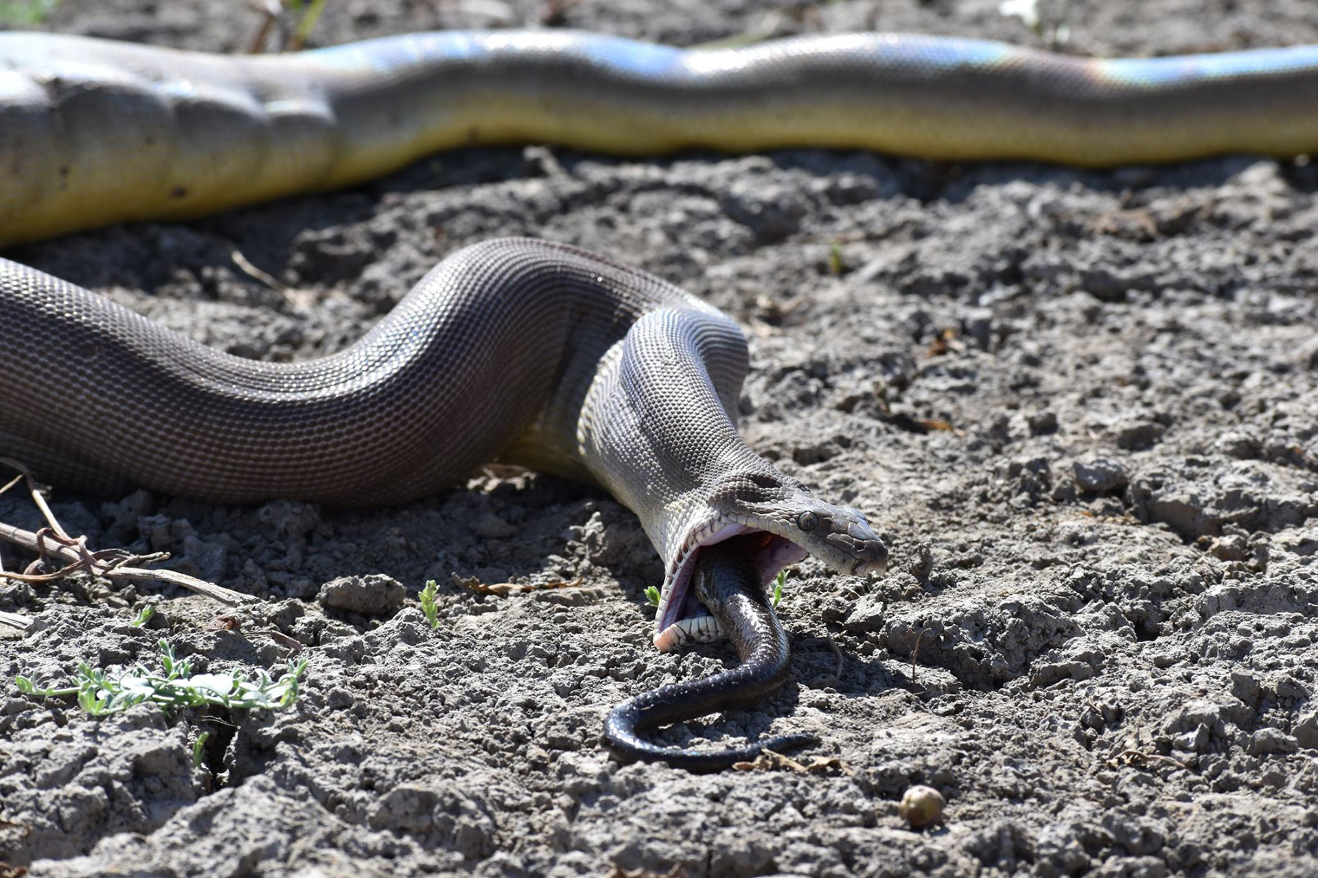 En principio, se confirmó que se trataba de otro reptil, por las escamas