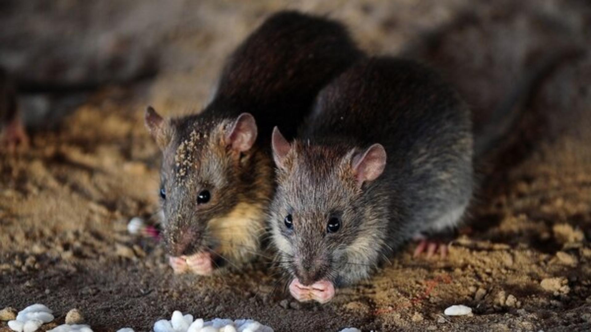 Dónde viven las ratas de tejado