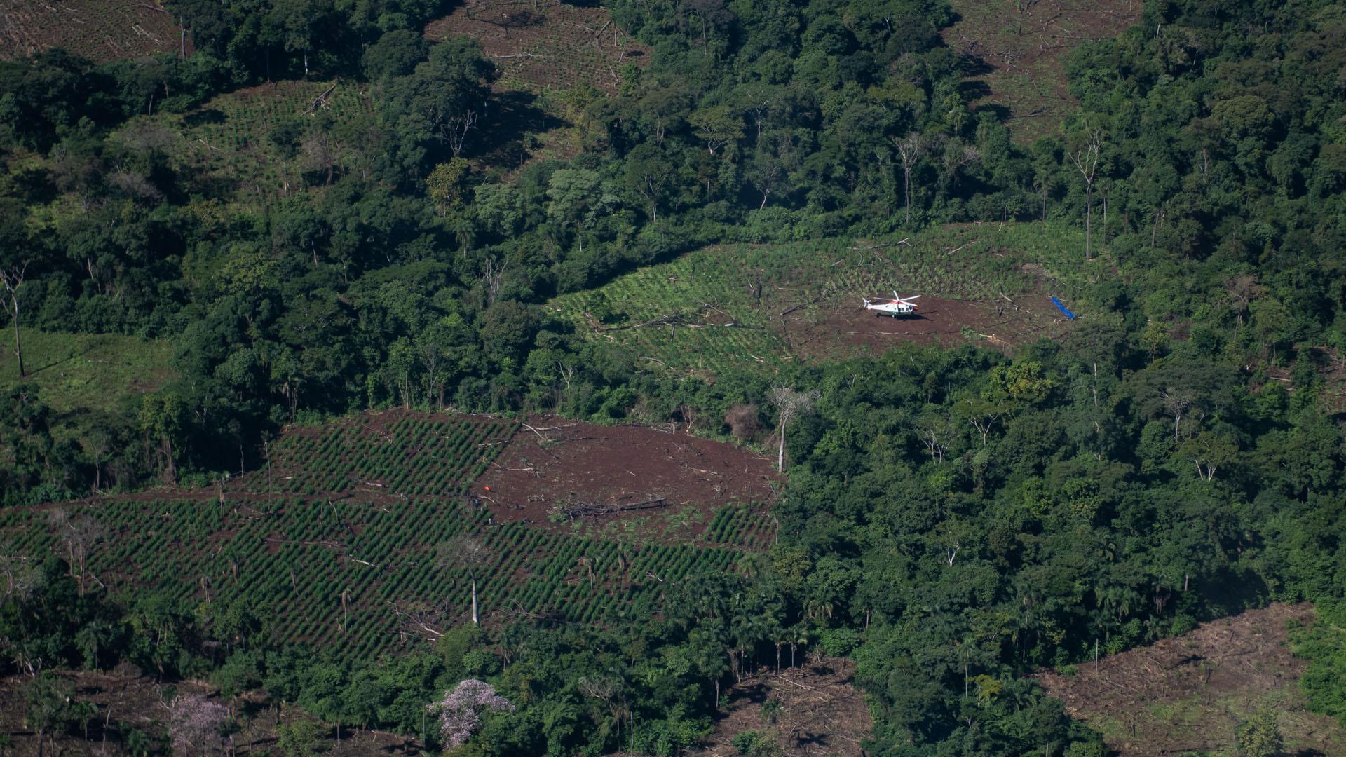 Las hectáreas de marihuana vistas desde el aire. Se aprovechan los sectores de bosque en el monte para talarlos desde adentro y formar anillos que solo pueden ser detectados con helicóptero.
