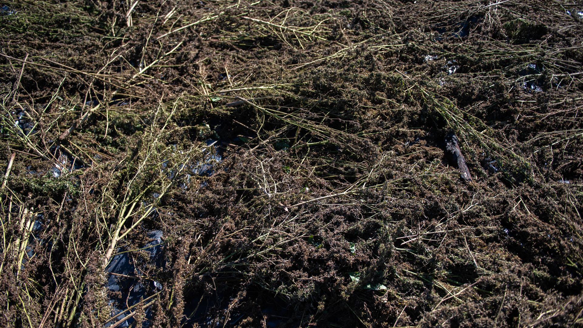 El secadero de cogollos: el proceso es desprolijo y la humedad en los capullos más gruesos genera el olor a podredumbre vegetal típico de la marihuana prensada.