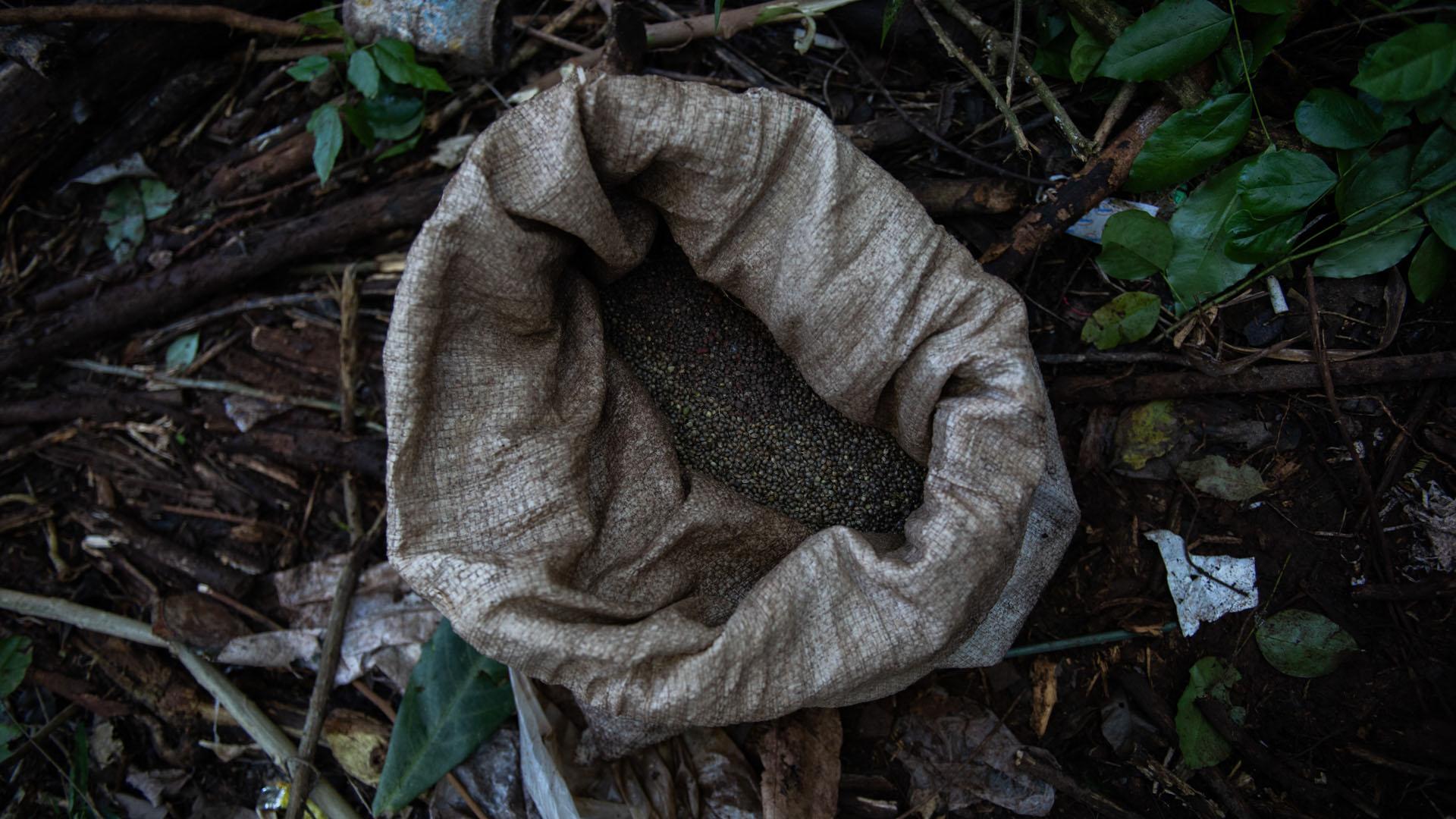 El campamento en la plantación con una bolsa de diez kilos de semillas de cannabis, que se mezcla con secante e insecticida.