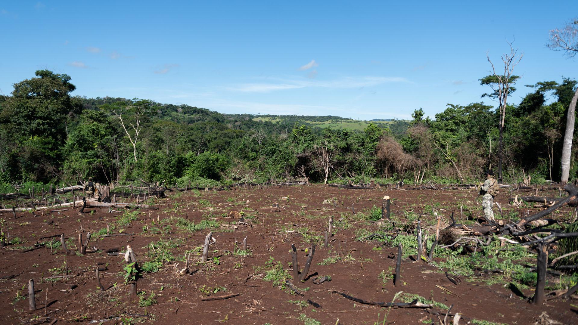 La deforestación en un subproducto del avance narco en la llanura paraguaya. Los cosecheros pueden generar hasta dos tandas de producción por año en una parcela.