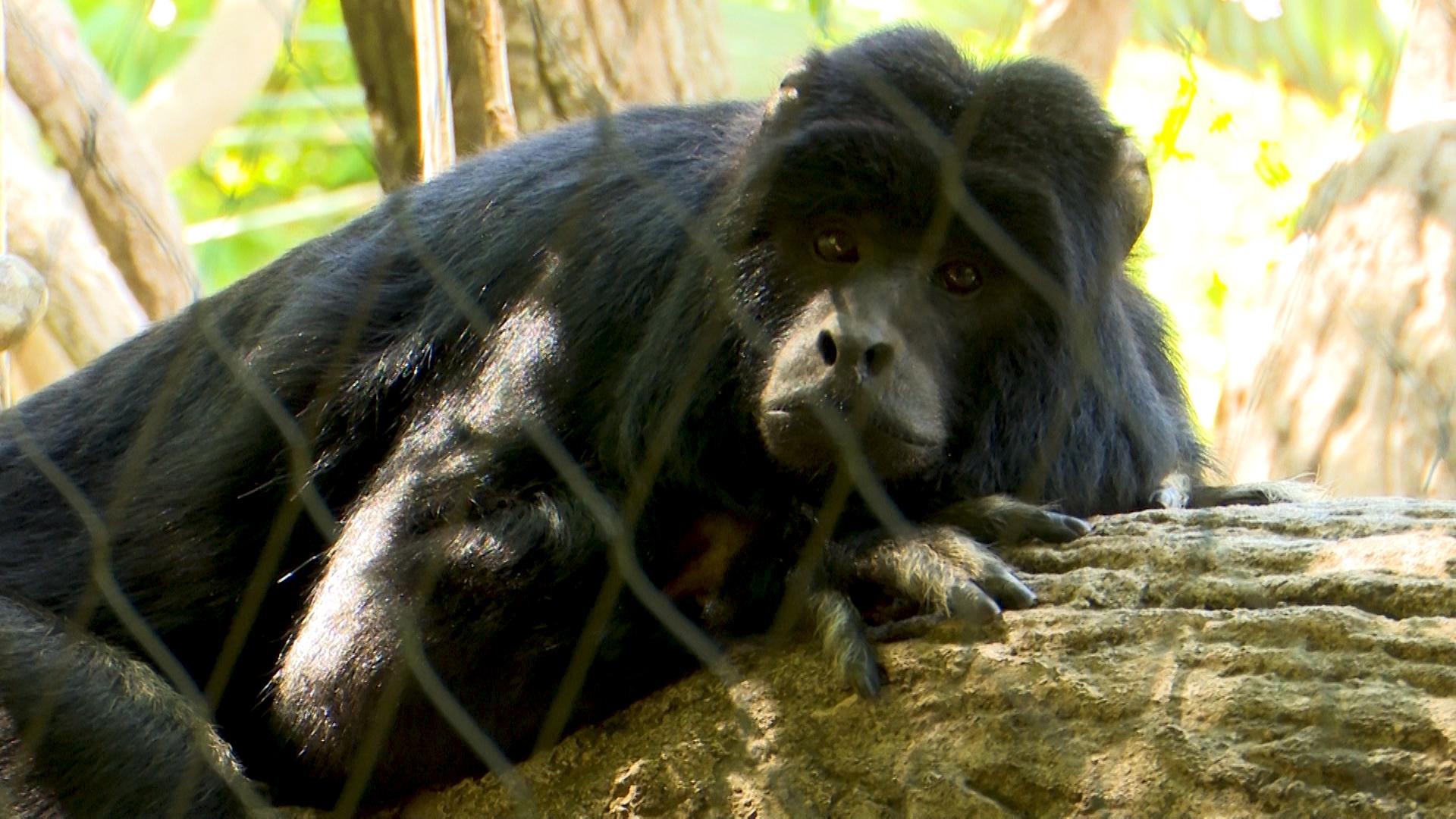 Mono Carayá, el habitante de la selva empujado de su hábitat