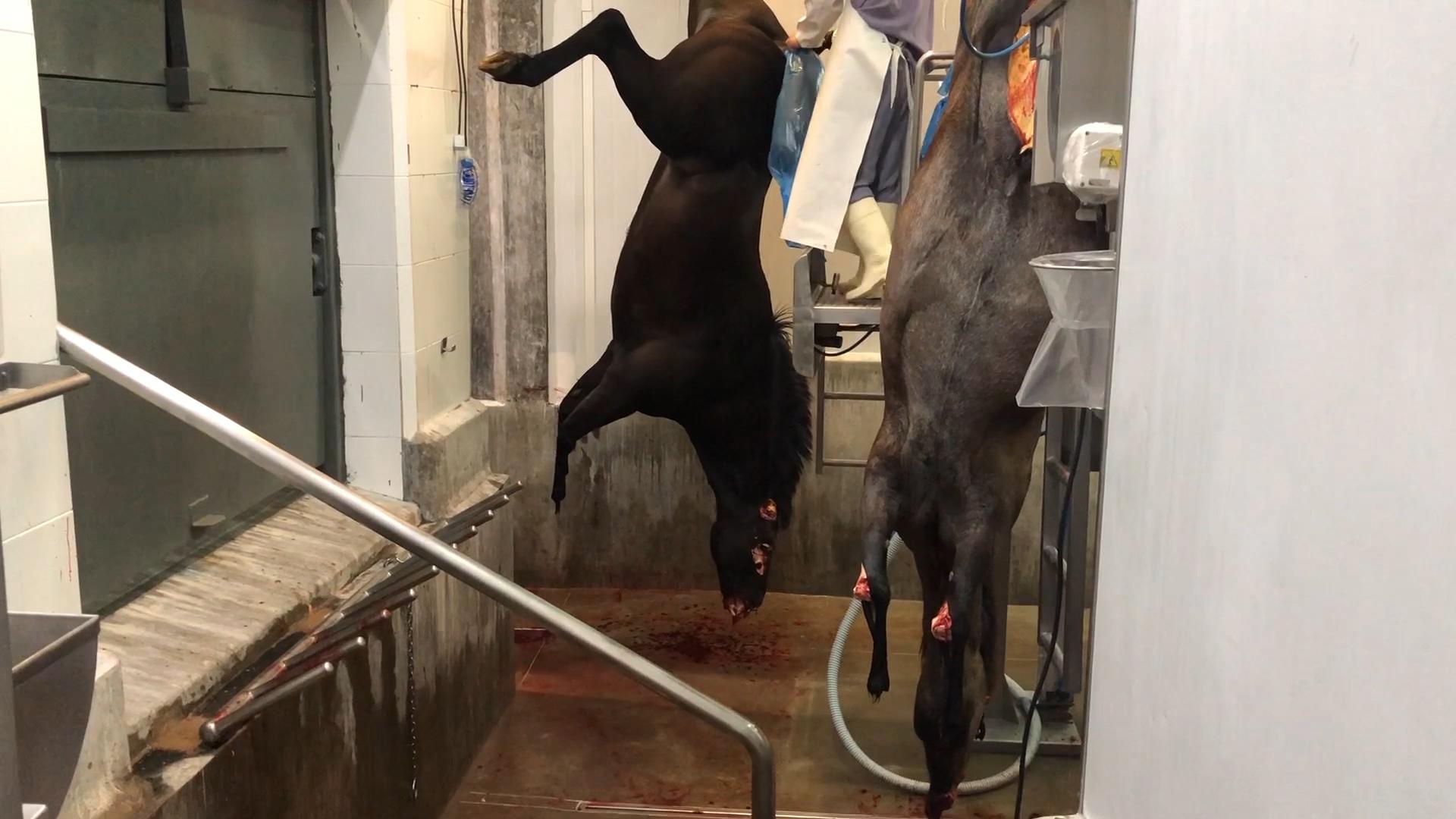 Grupos Animalistas Aseguran Que Detrás De La Exportación De Carne De Caballo Hay Cuatrerismo Mafias Y Crueldad Animal Infobae