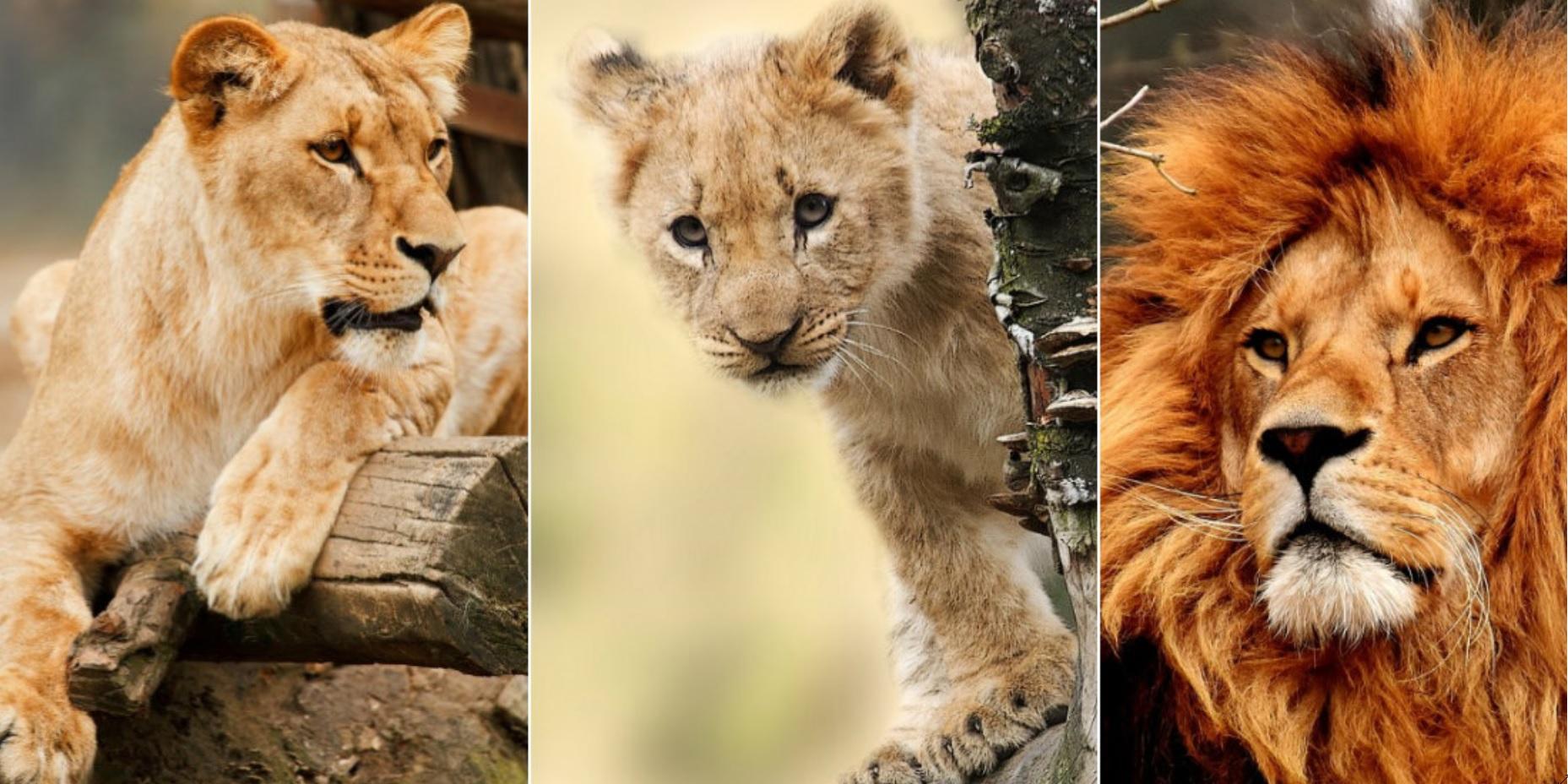 la melena del leon como se llama