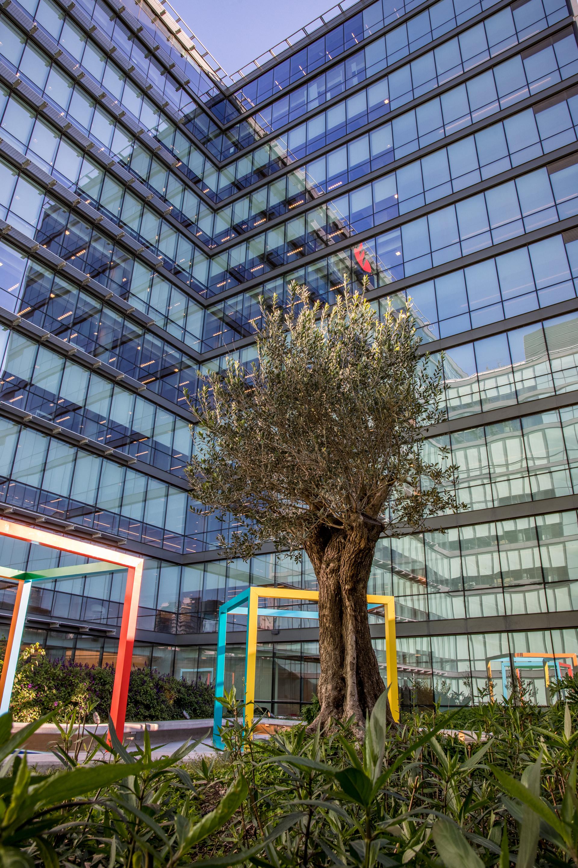 El olivo característico de las principales edificaciones de Santander en el mundo, está ubicado en la terraza verde.