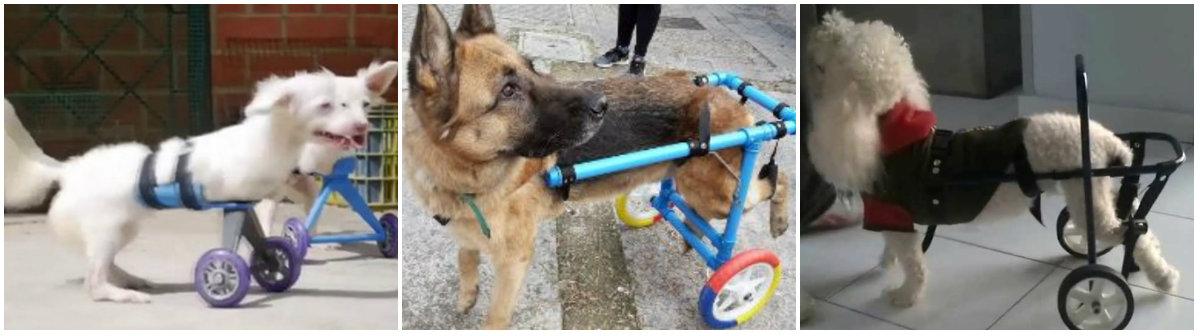 Algunos perros han tenido accidentes donde pierden sus extremidades, pero voluntarios han construido sillas de ruedas especiales, principalmente recicladas de carriolas de bebé, para que puedan moverse de nuevo Fotos: Especiales