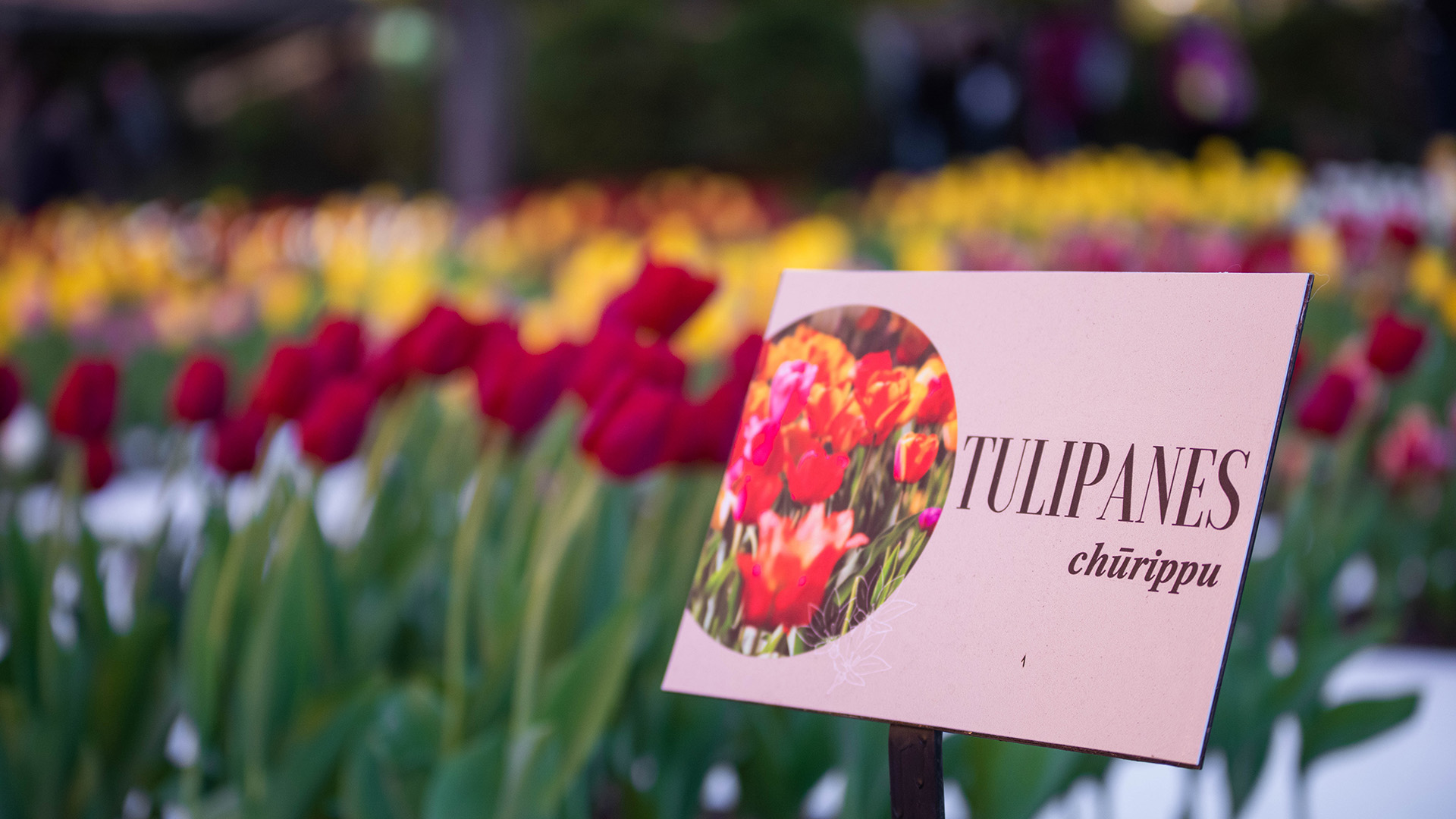 """""""Churippu""""es el término japonés para designar a estas flores"""