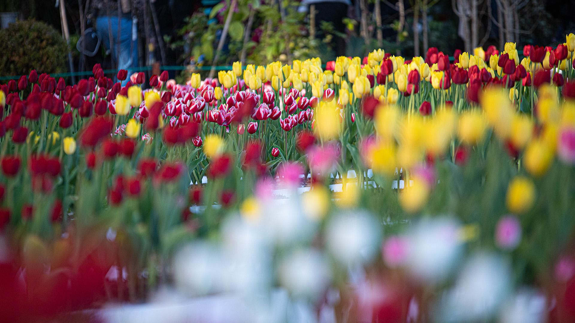 Cuatro mil tulipanesya florecieron en el Jardín Japonés de Palermo
