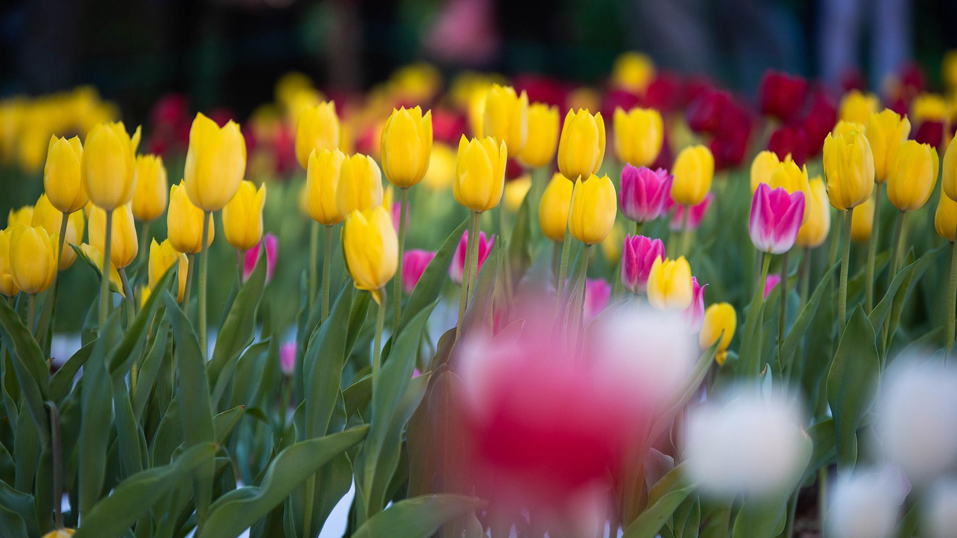 Puede llegar a medir 30 centímetros y la flor tiene de dos a seis hojas.