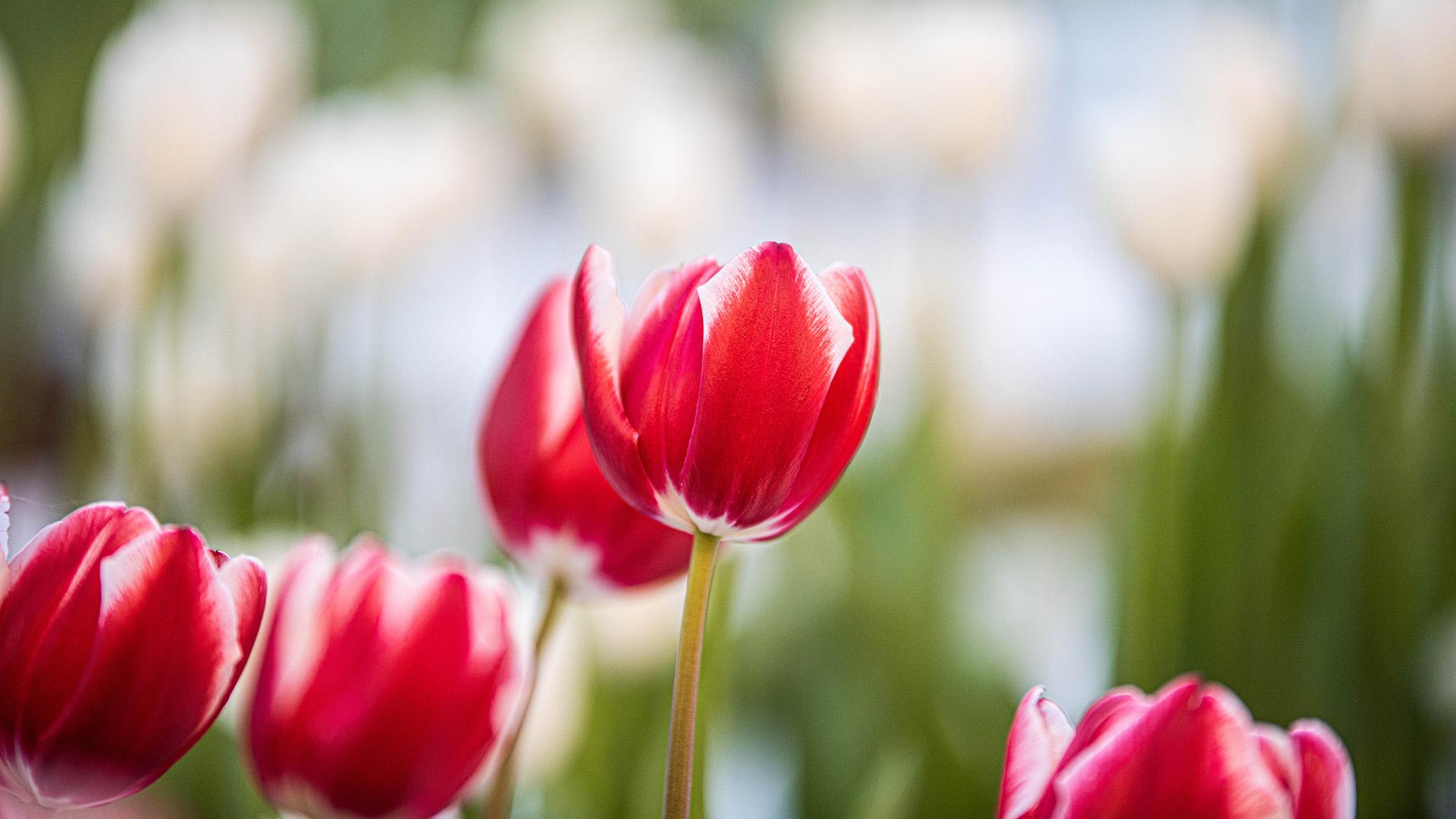 Según los expertos, las de color rojo simbolizan la pasión y amor