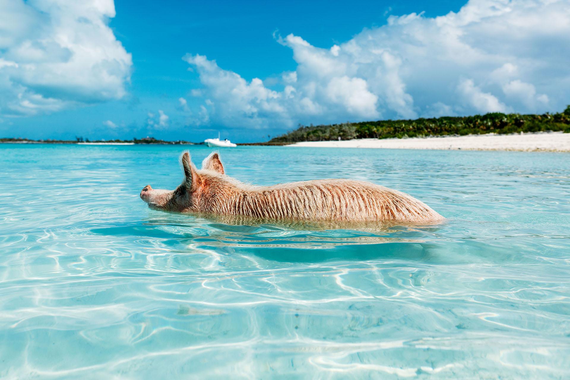 Llamada así cariñosamente, en sus playas los cerdos conviven con los que se acercan a una pequeña isla, situada en el archipiélago de las Bahamas de Exuma, en la isla de Big Major Cay