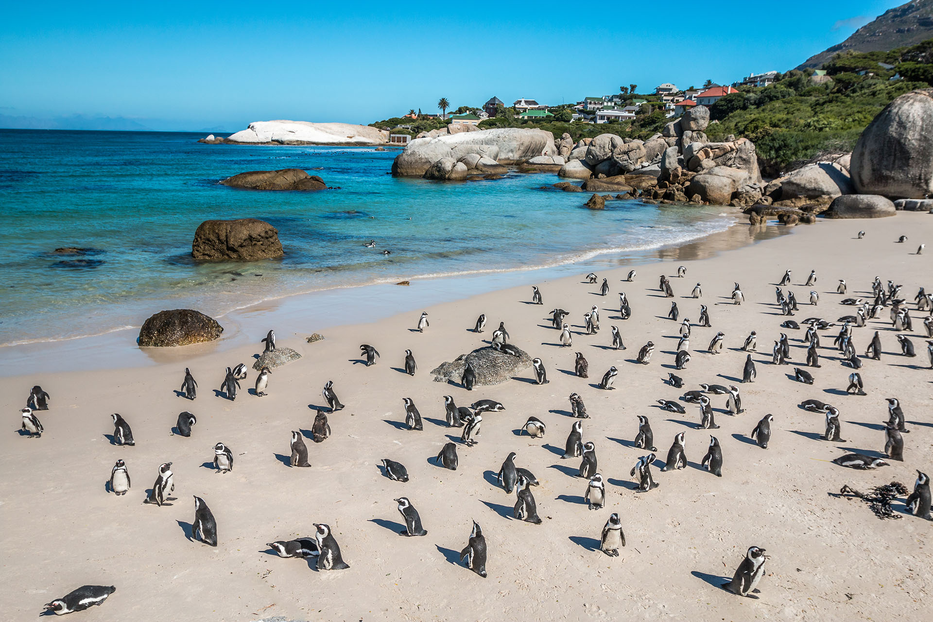 Boulders Beach tiene una particularidad: la playa se encuentra plagada de pingüinos africanos, que anidan en la playa. El verano es el mejor momento para visitar Boulders, ya que esta especie posee más actividad