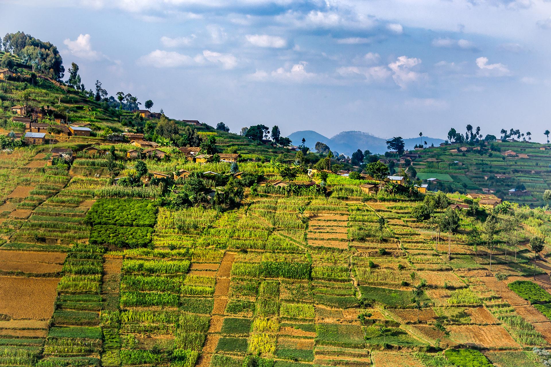 El turismo de Rwanda está en auge, en gran parte debido al aumento de visitantes al Parque Nacional de los Volcanes, uno de los últimos lugares restantes en la tierra donde los viajeros pueden vislumbrar al gorila de montaña en peligro de extinción