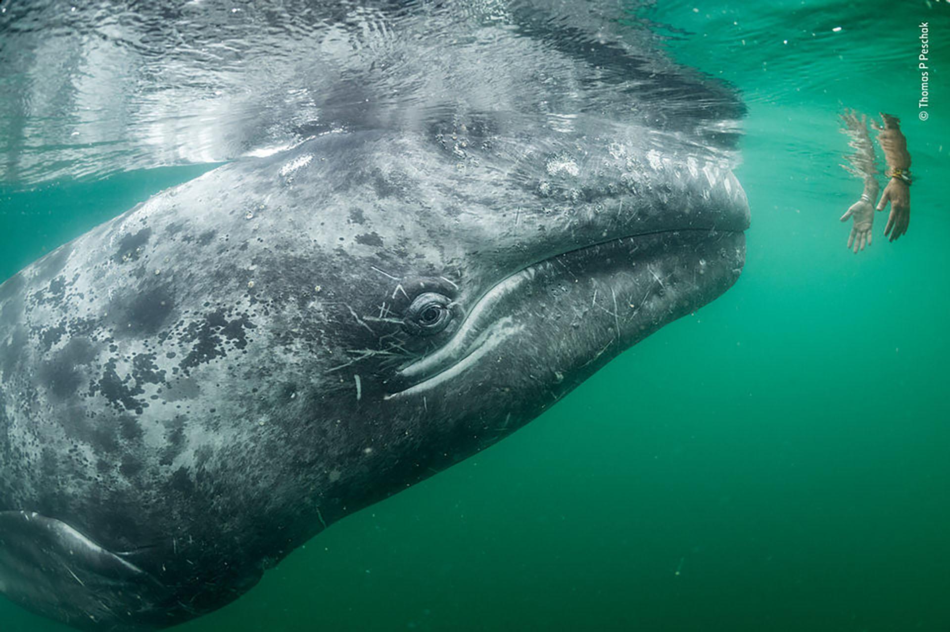 Una ballena gris se acerca a un par de manos bajando de un barco turístico en la Laguna San Ignacio, en la costa de Baja California, México (Thomas P. Peschak/Fotógrafo de vida silvestre del año)