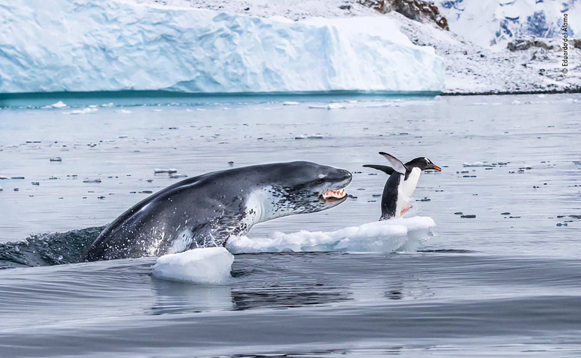 Un pingüino papúa huye para salvar su vida cuando una foca leopardo sale del agua en la isla de Cuverville, en la Antártida. (Eduardo Del Álamo/Fotógrafo de Vida Silvestre del Año)