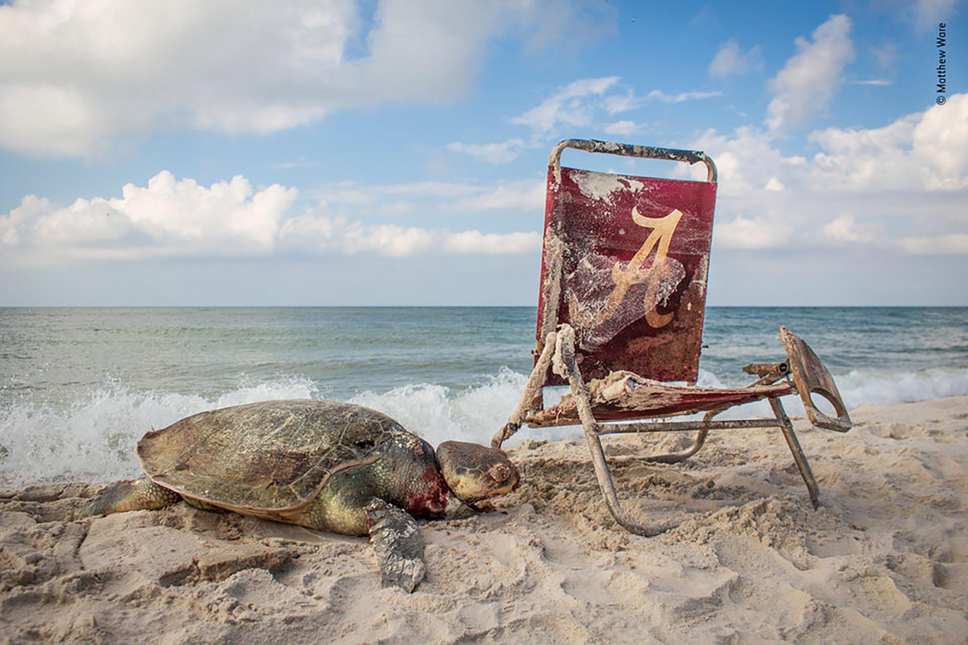 Una tortuga lora es asfixiada hasta la muerte por una cuerda que estaba atada a una silla de playa en las orillas del Refugio Nacional de Vida Silvestre Bon Secour de Alabama. (Matthew Ware/Fotógrafo de la vida silvestre del año)