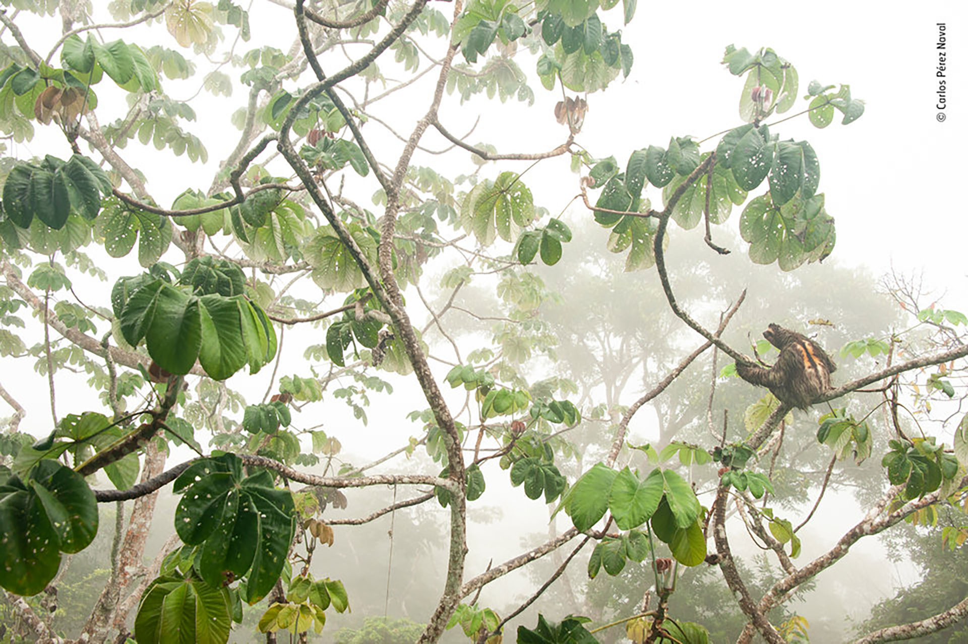 Un perezoso macho de tres dedos, de garganta marrón. (Carlos Pérez Fotógrafo Naval/Fotografo de Vida Silvestre del Año)