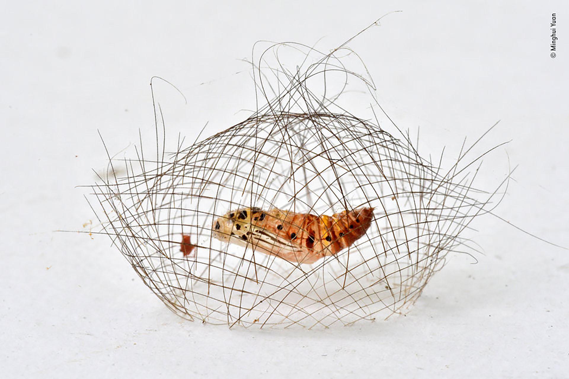 Un capullo de una pupa de polilla de Cyna. (Minghui Yuan/Fotógrafo de vida silvestre del año)
