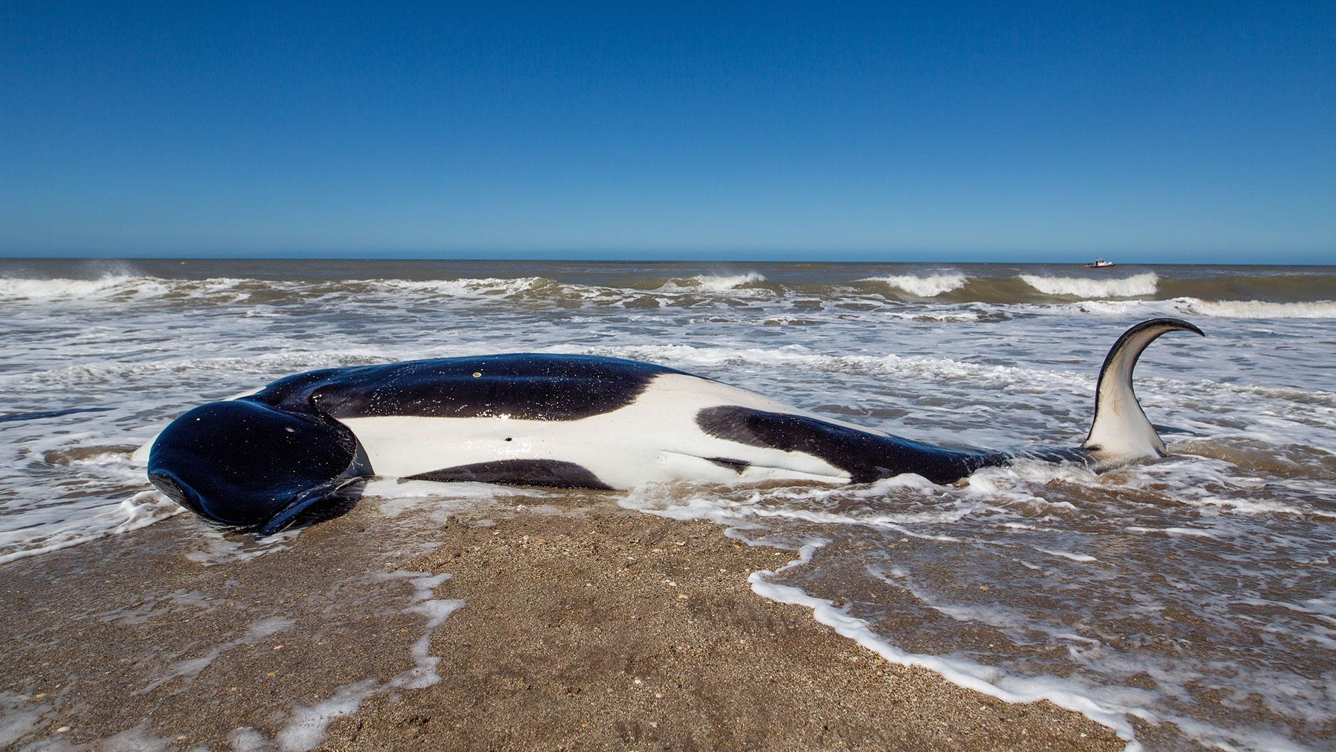 Una de las siete orcas no pudo ser rescatada y murió