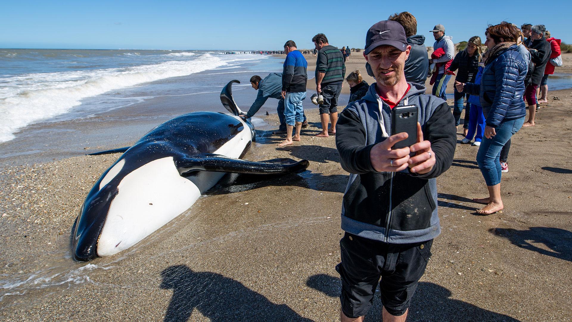 Estos cetáceos pesan entre cinco y diez toneladas