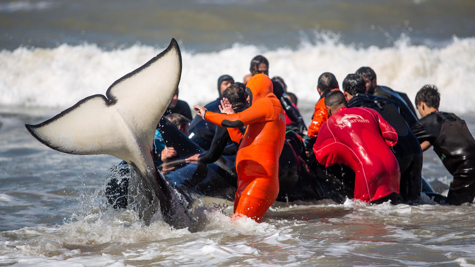 Una de las seis orcas que pudo ser devuelta al mar