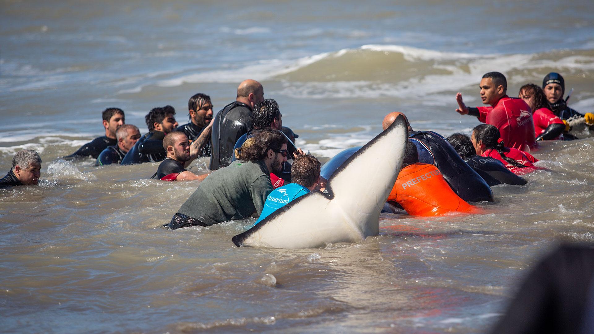 Contaron con la guía de expertos de la Fundación Aquarium de Mar del Plata, necesarios para establecer un protocolo de rescate