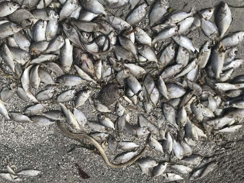 Small dead fish can be seen on North Redington Beach on Tuesday. [SCOTT KEELER | TIMES]