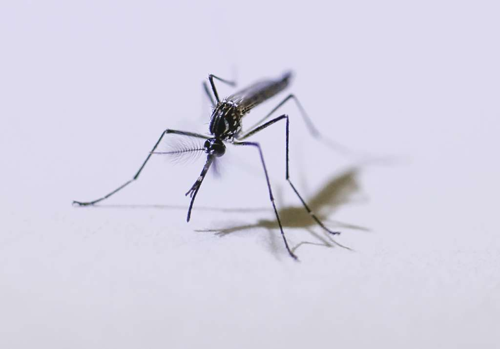 Mosquitos cause the most animal deaths every year, [Times archives]
