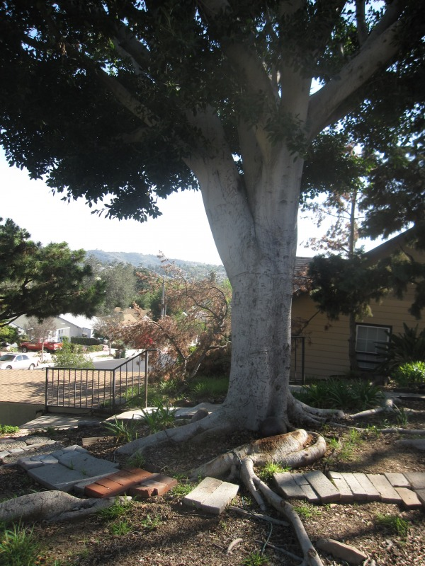 Image Existing Ficus Tree, L...