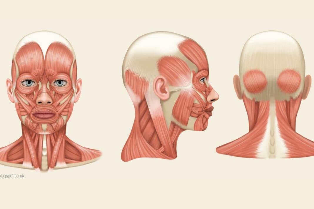 Апоневрозы, фасции головы и шеи