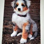 source photo showing a Australian shepherd