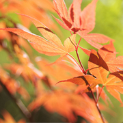 Japanese_maple_leaves_copy_card