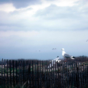 Seagull_on_fence_copy_card