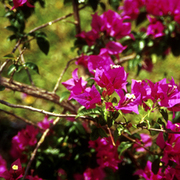 Flowering_bush_card