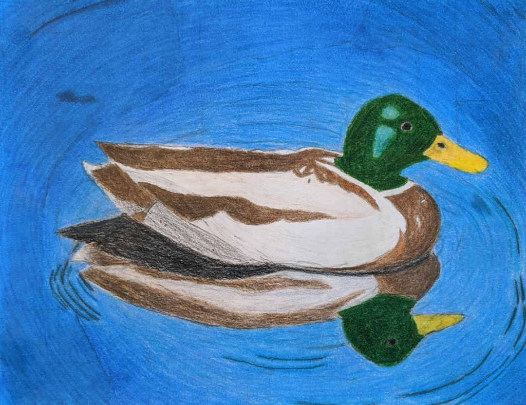 Mallard Duck Observational Grid Drawing