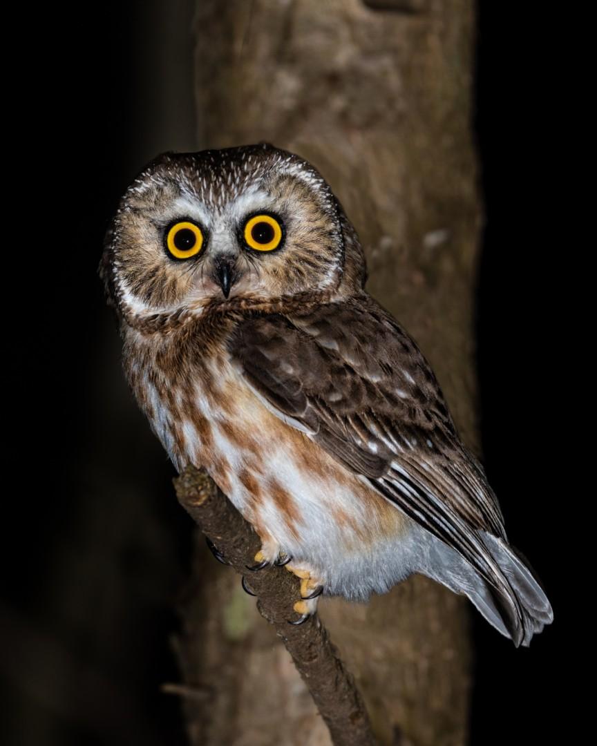 Saw-Whet Owl Portrait