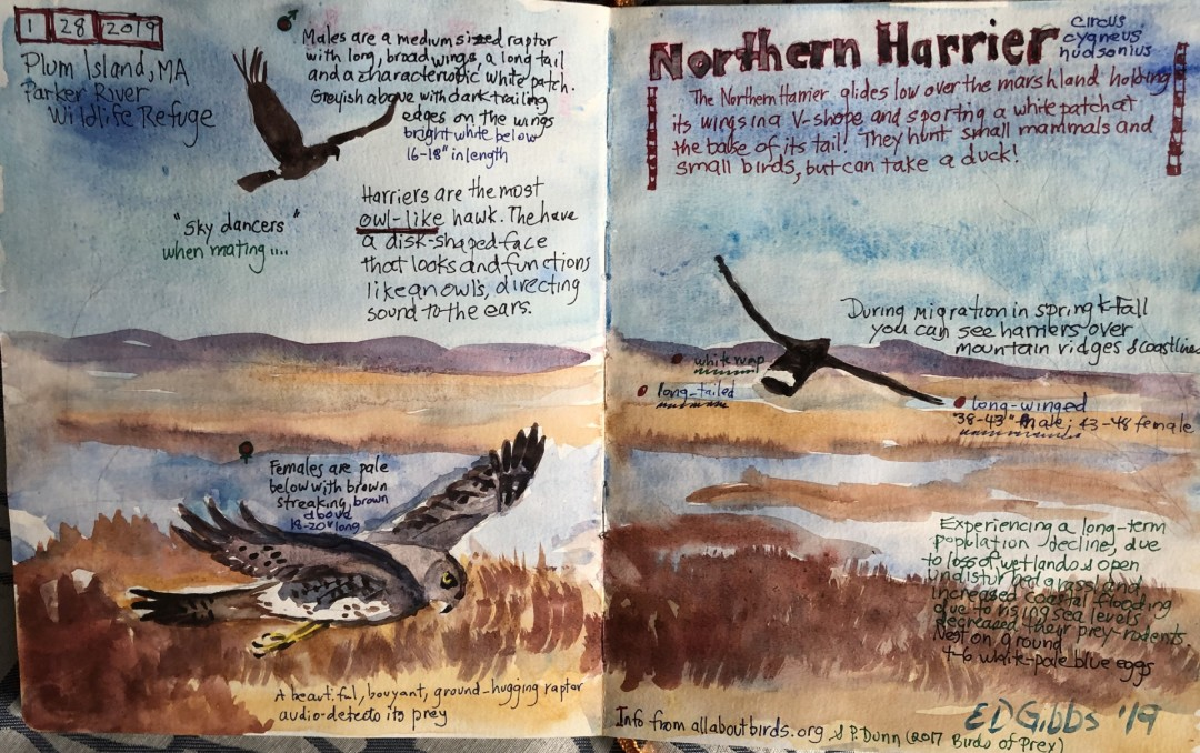 Nature Journal Pages on Northern Harrier at Plum Island