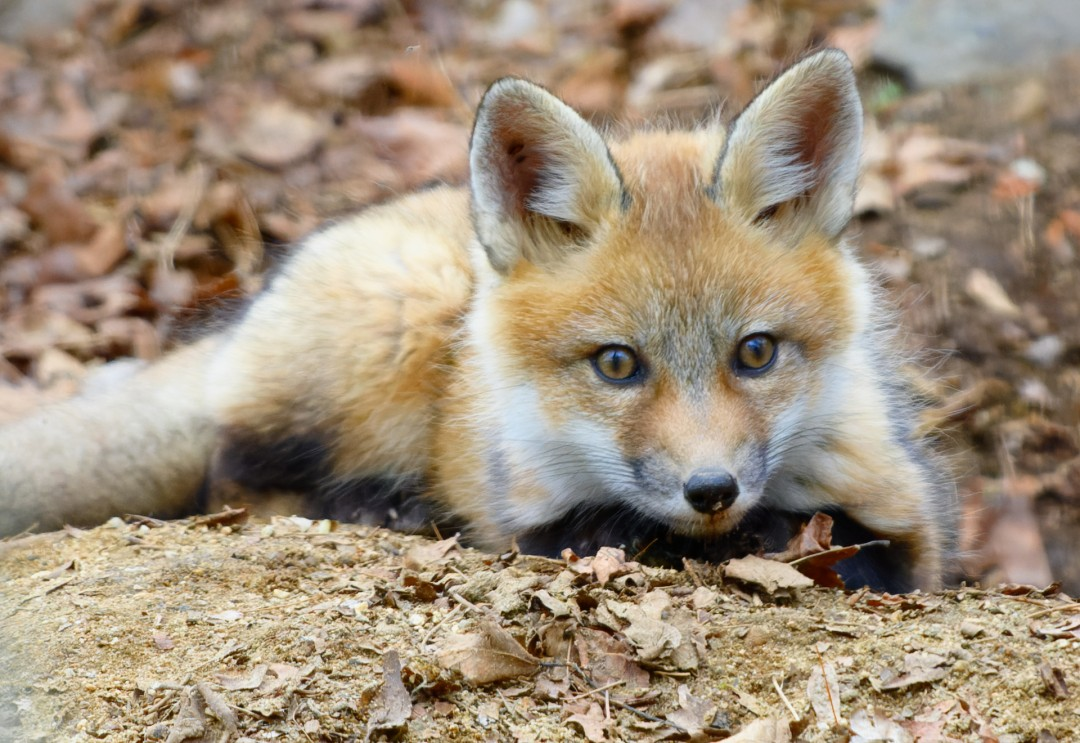Red Fox Kit, photography