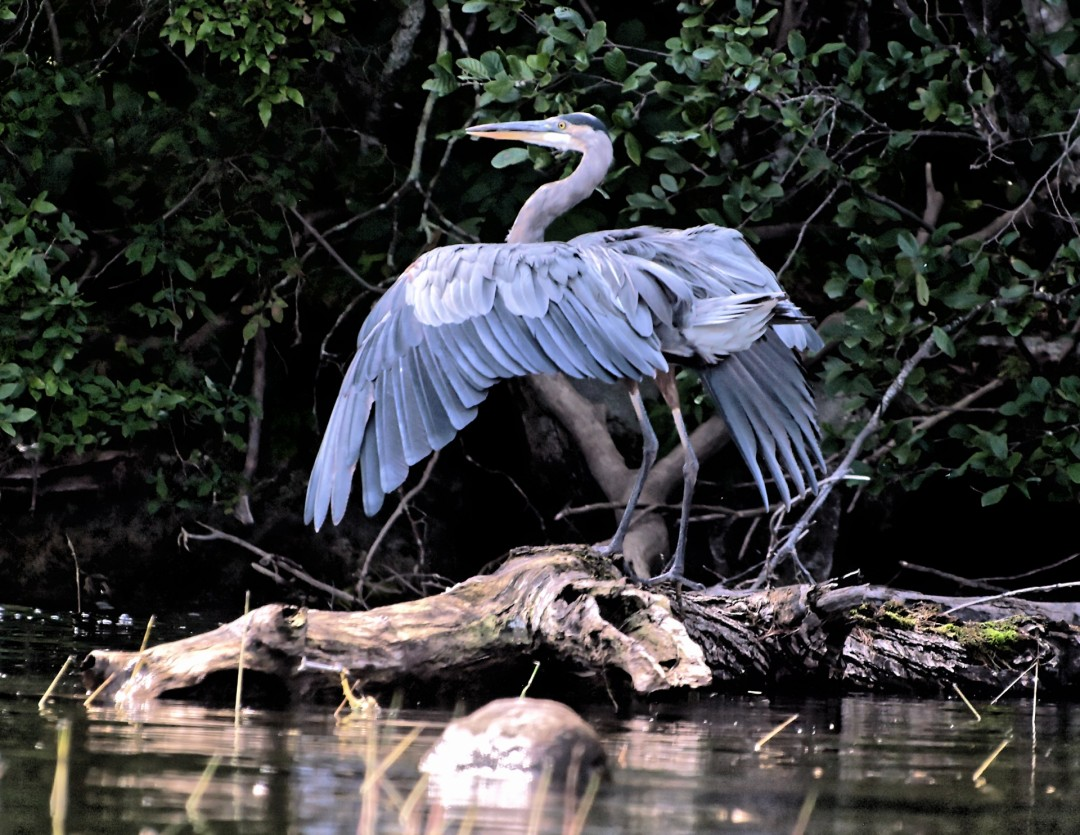 Great Blue Heron, photography