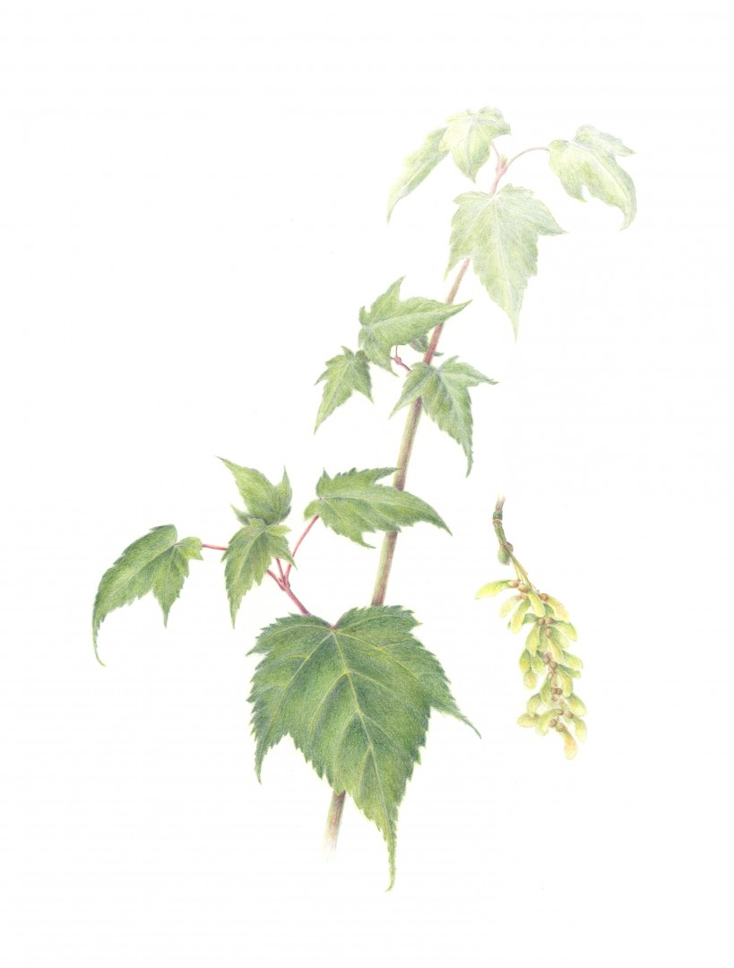 Chinese Snakebark Maple, Two-Dimensional Wall Art > Drawings