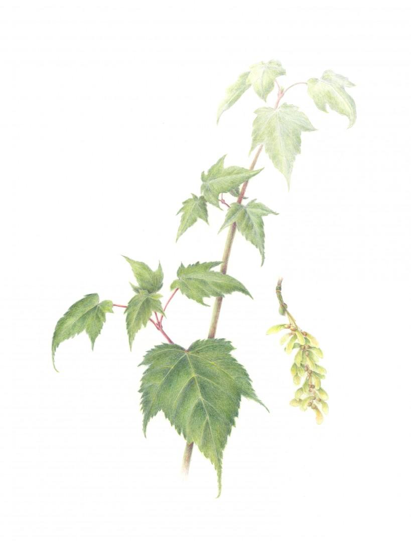 Chinese Snakebark Maple